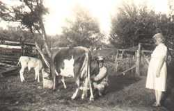Ulick the cow, WWII homefront